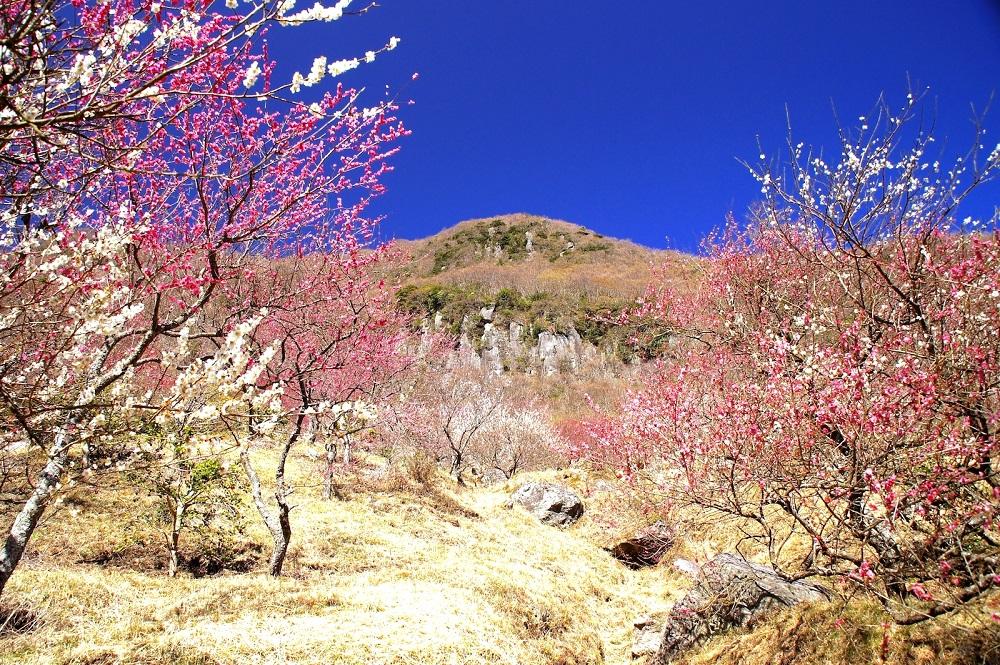 梅満開の湯河原ライド(*´▽`*)